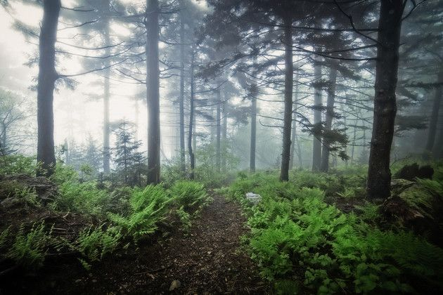 Fog envelopes the forest on Whitetop Mountain, Virginia